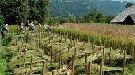 flax harvest